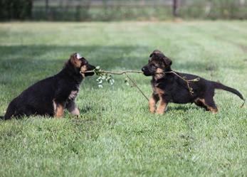 german-shepherd Puppies
