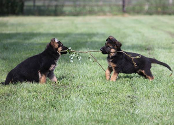 German Shepherd litter